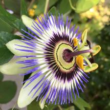 Passion Flower - Ballard Locks & Botanical Gardens